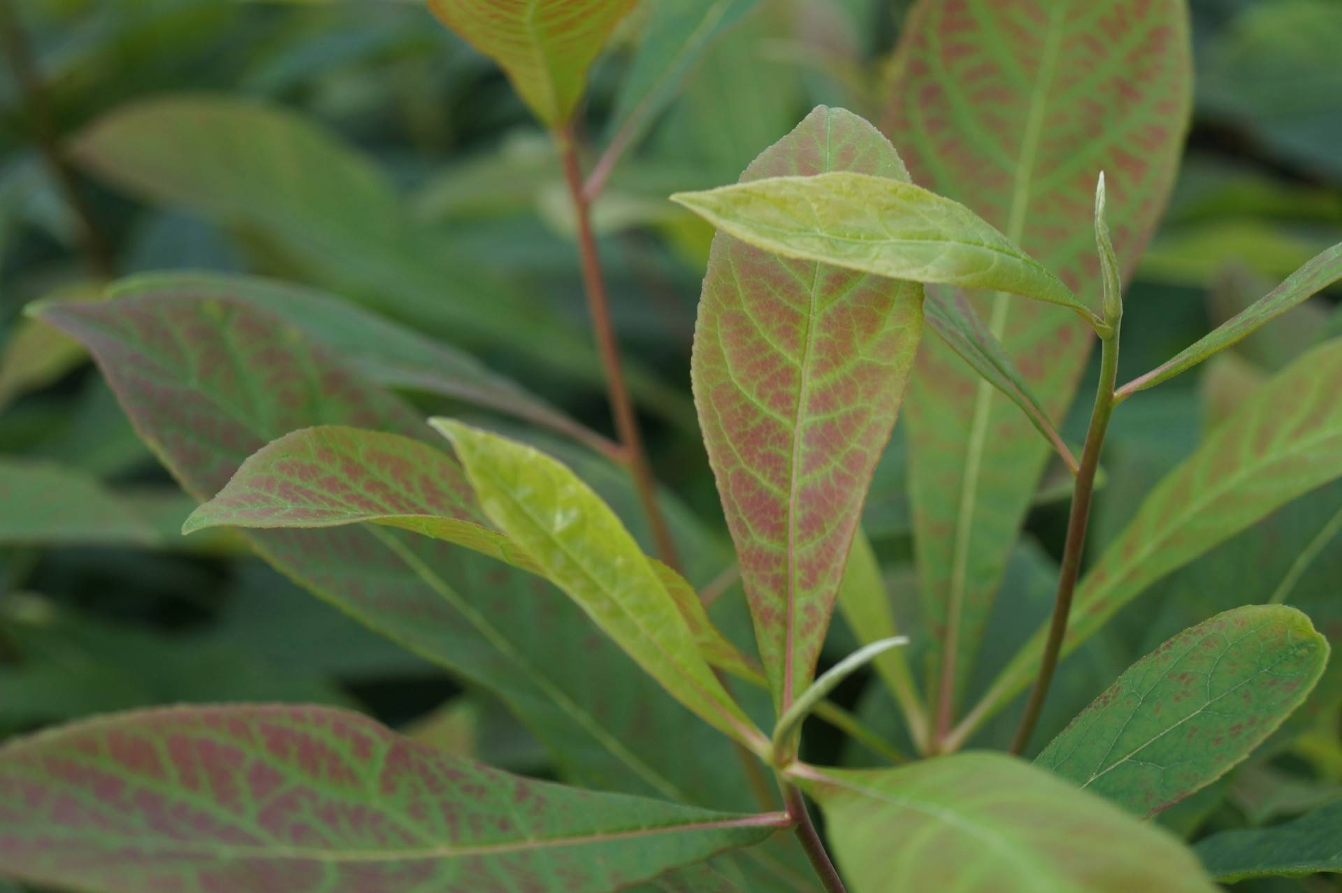 EVER GREEN PERENNIAL 6  IRIS FOETIDISSIMA PLUG PLANTS