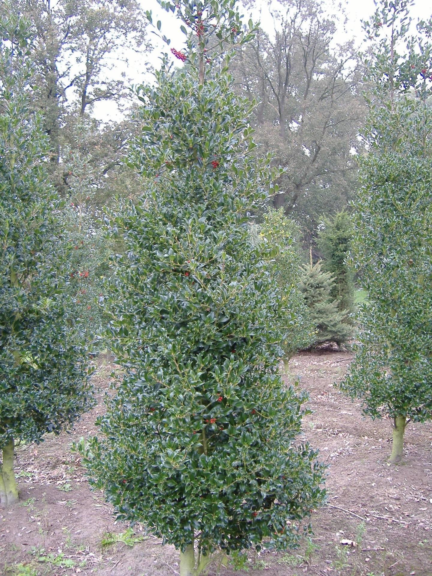 Ilex Aquifolium Pyramidalis Aureomarginata Back