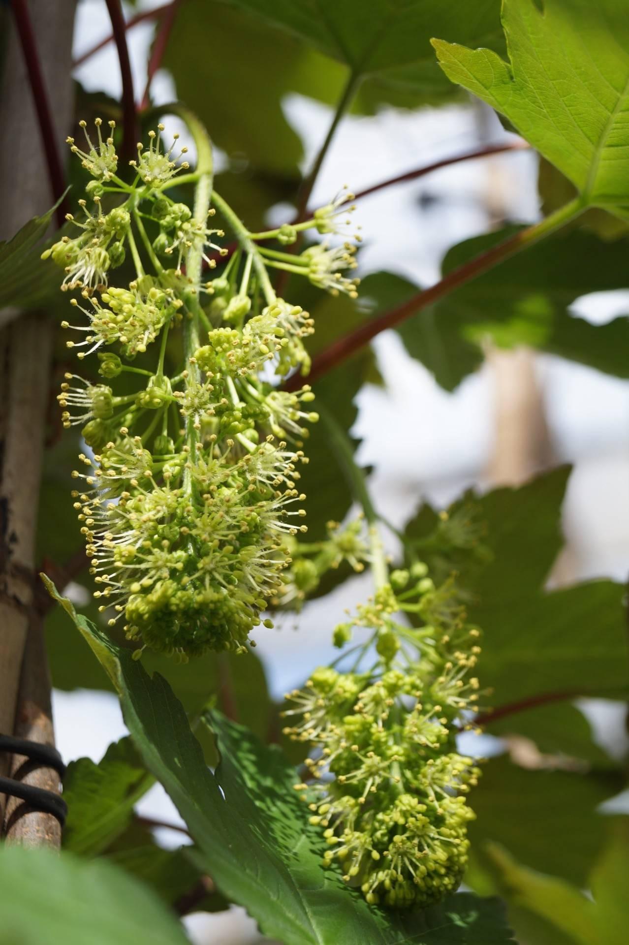 Acer Pseudoplatanus Purpureum