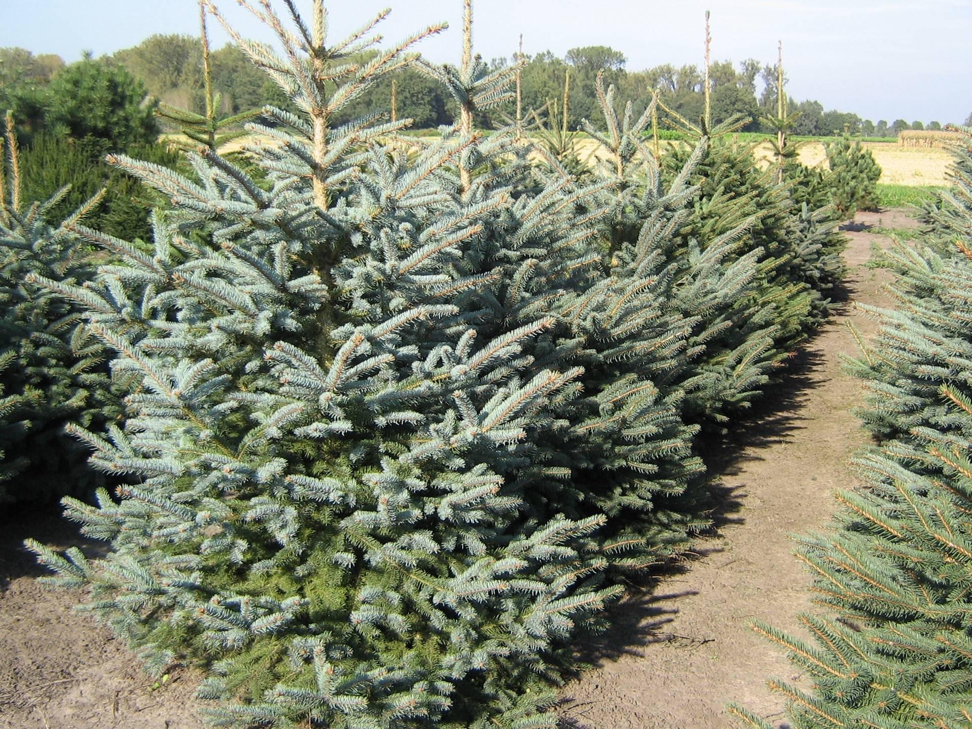 Picea pungens glauca | Den Mulder Boomteelt | Mehr als 7500 ...