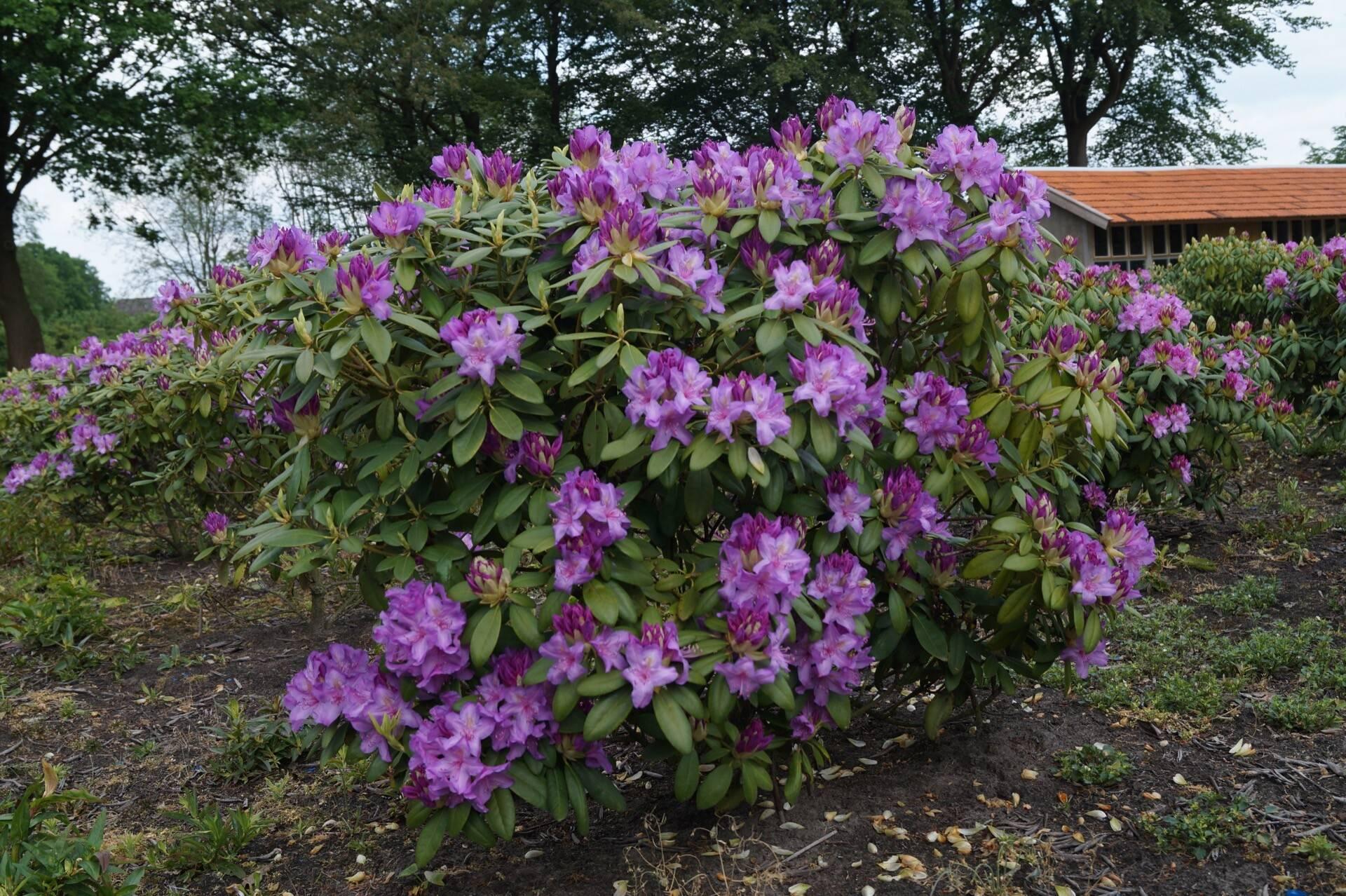 Rhododendron \'Catawbiense Boursault\' | Den Mulder Boomteelt ...