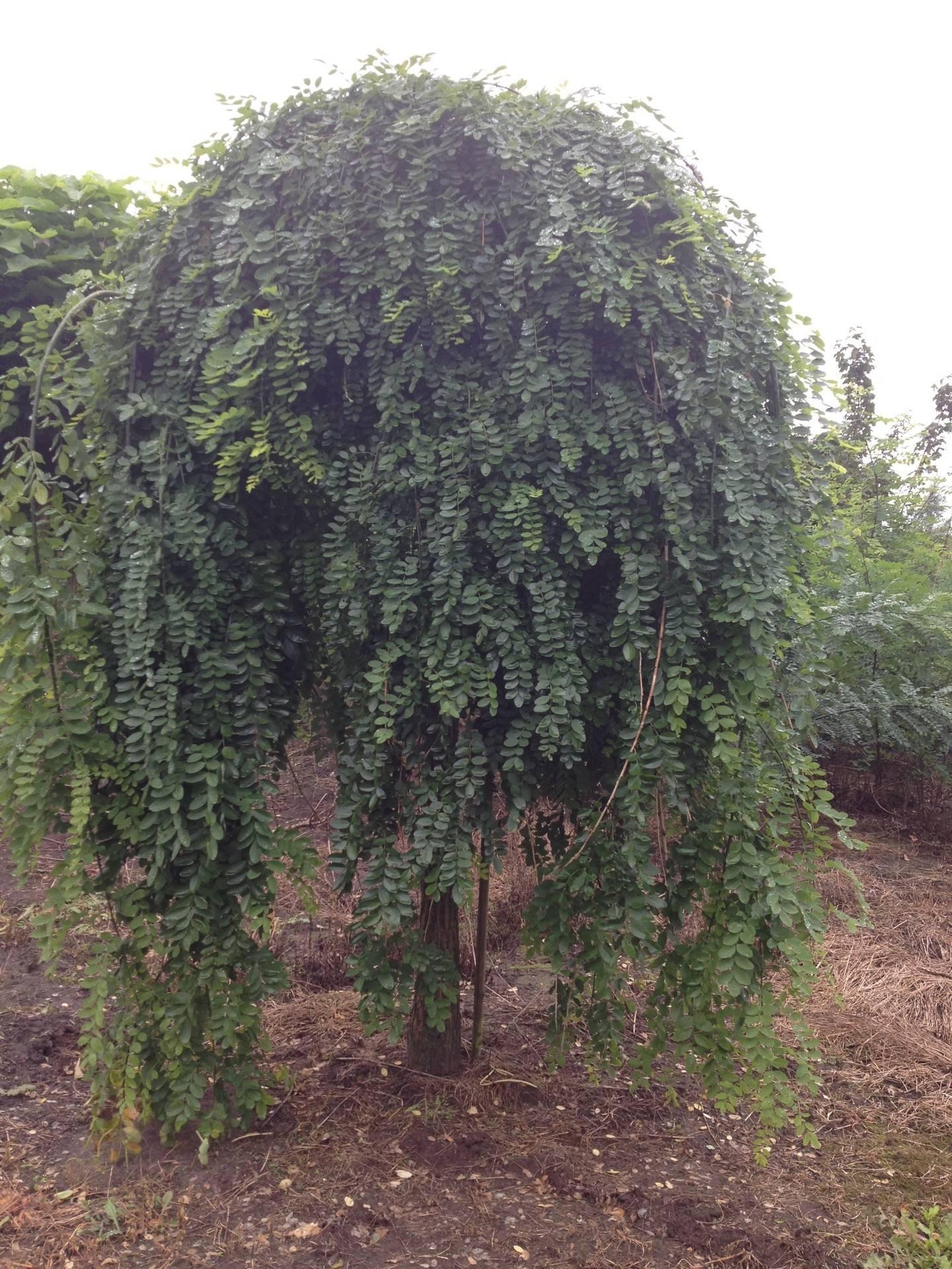 Styphnolobium Japonicum Pendula Treurende Japanse Honingboom Den Mulder Boomteelt