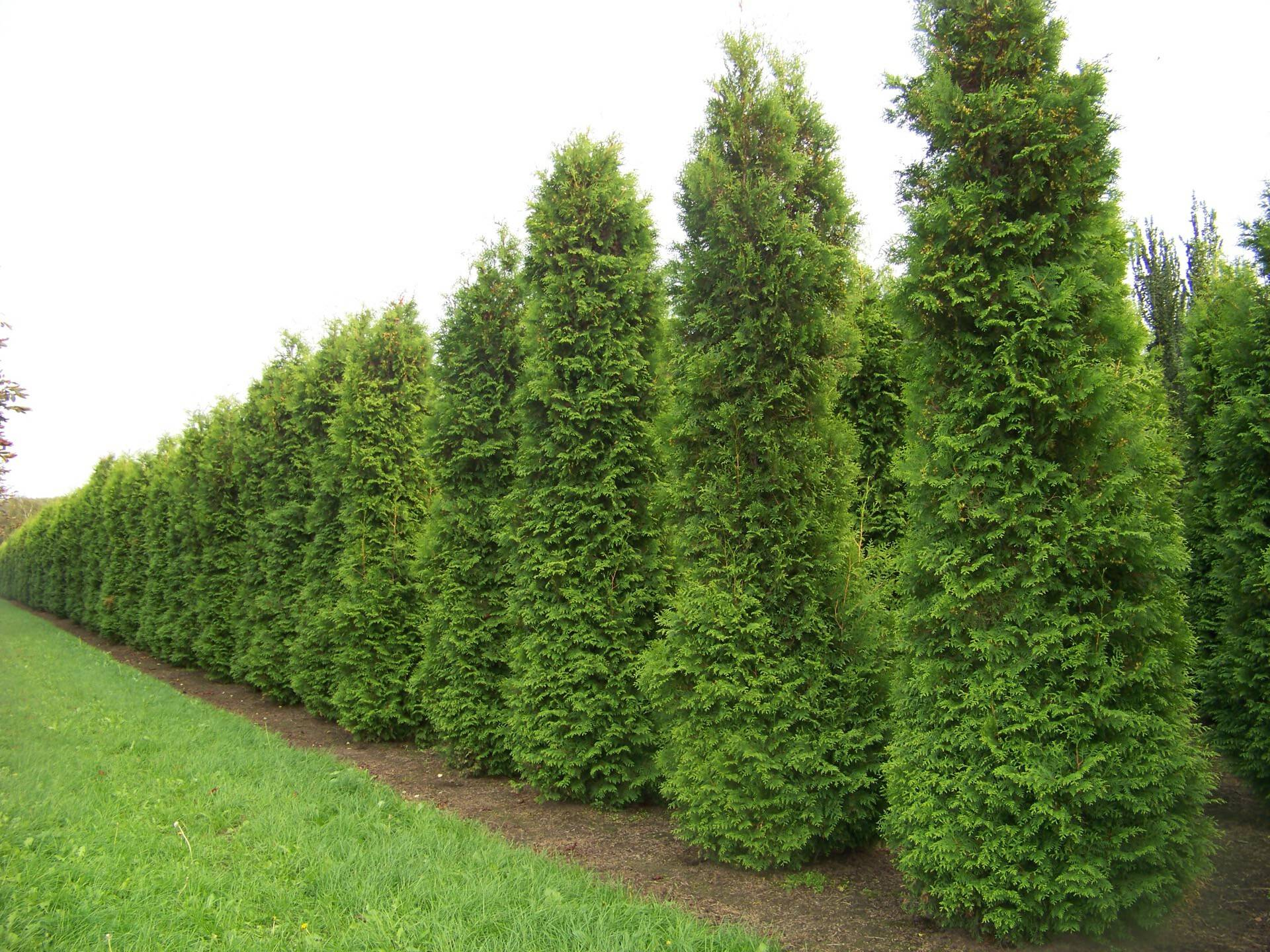 Thuja Occidentalis Brabant - Garden Design Ideas