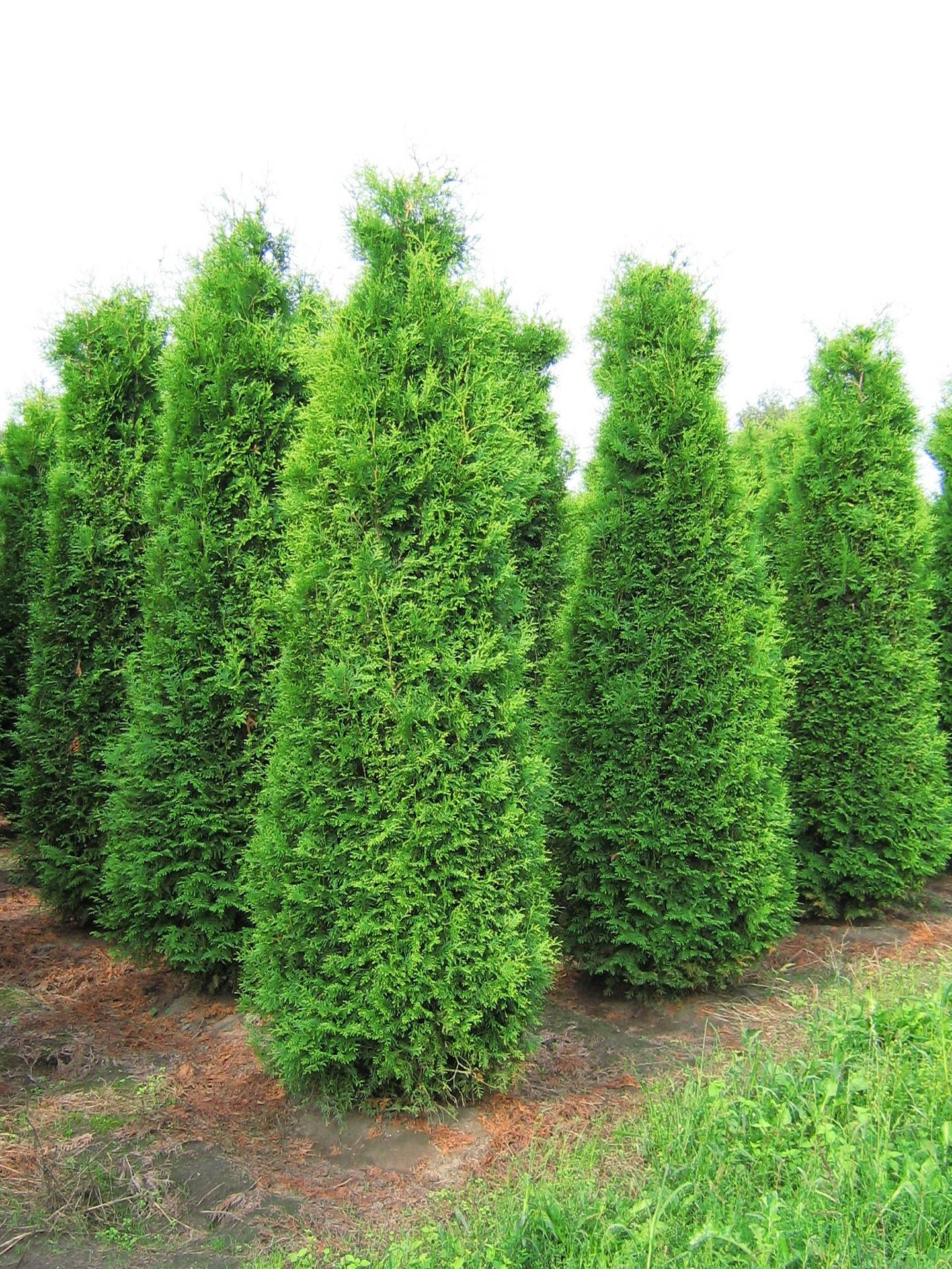 Thuja American Arbor Related Keywords - Thuja American Arbor Long Tail Keywords KeywordsKing
