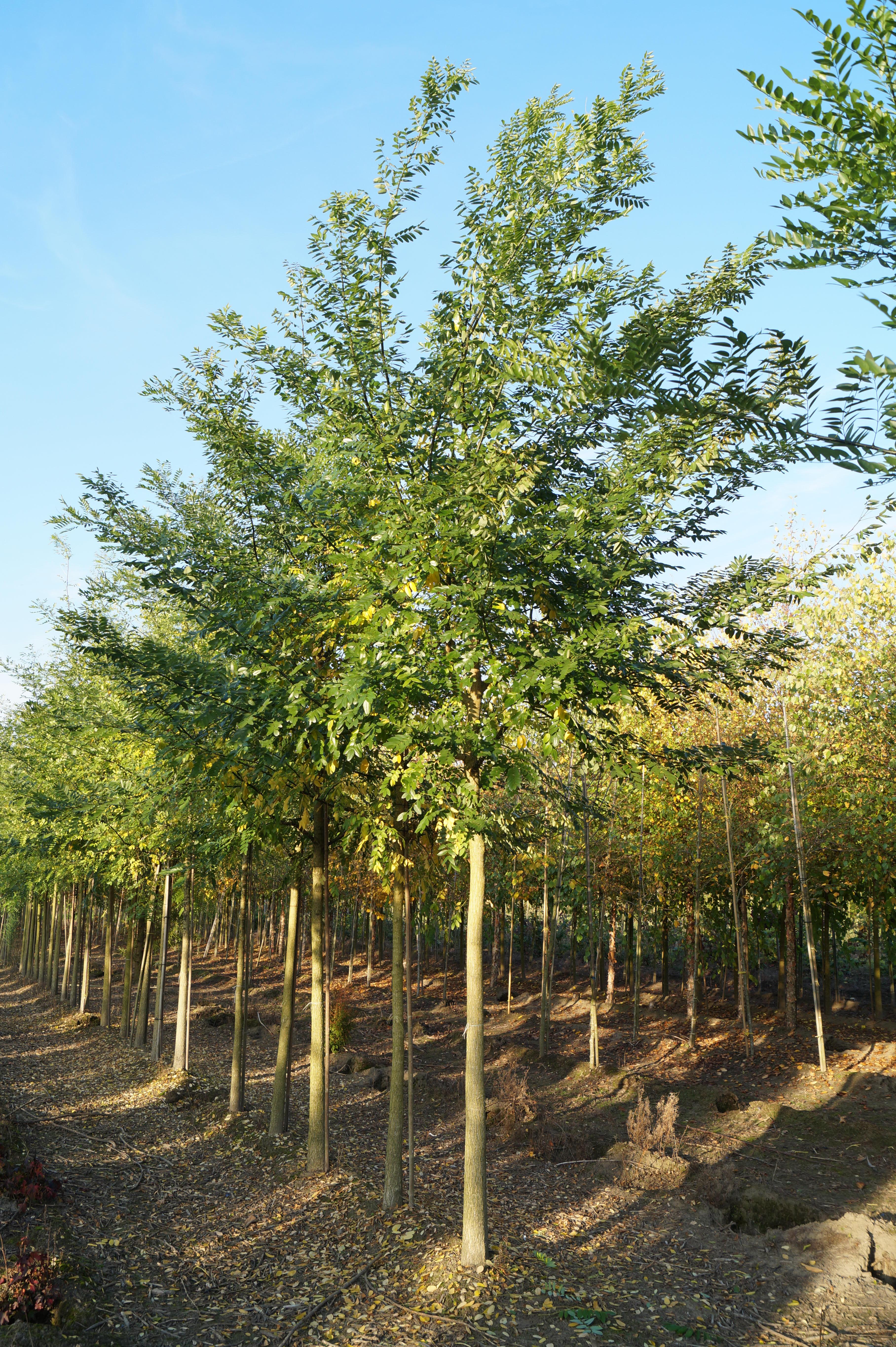 Styphnolobium Japonicum Japanse Honingboom Den Mulder Boomteelt