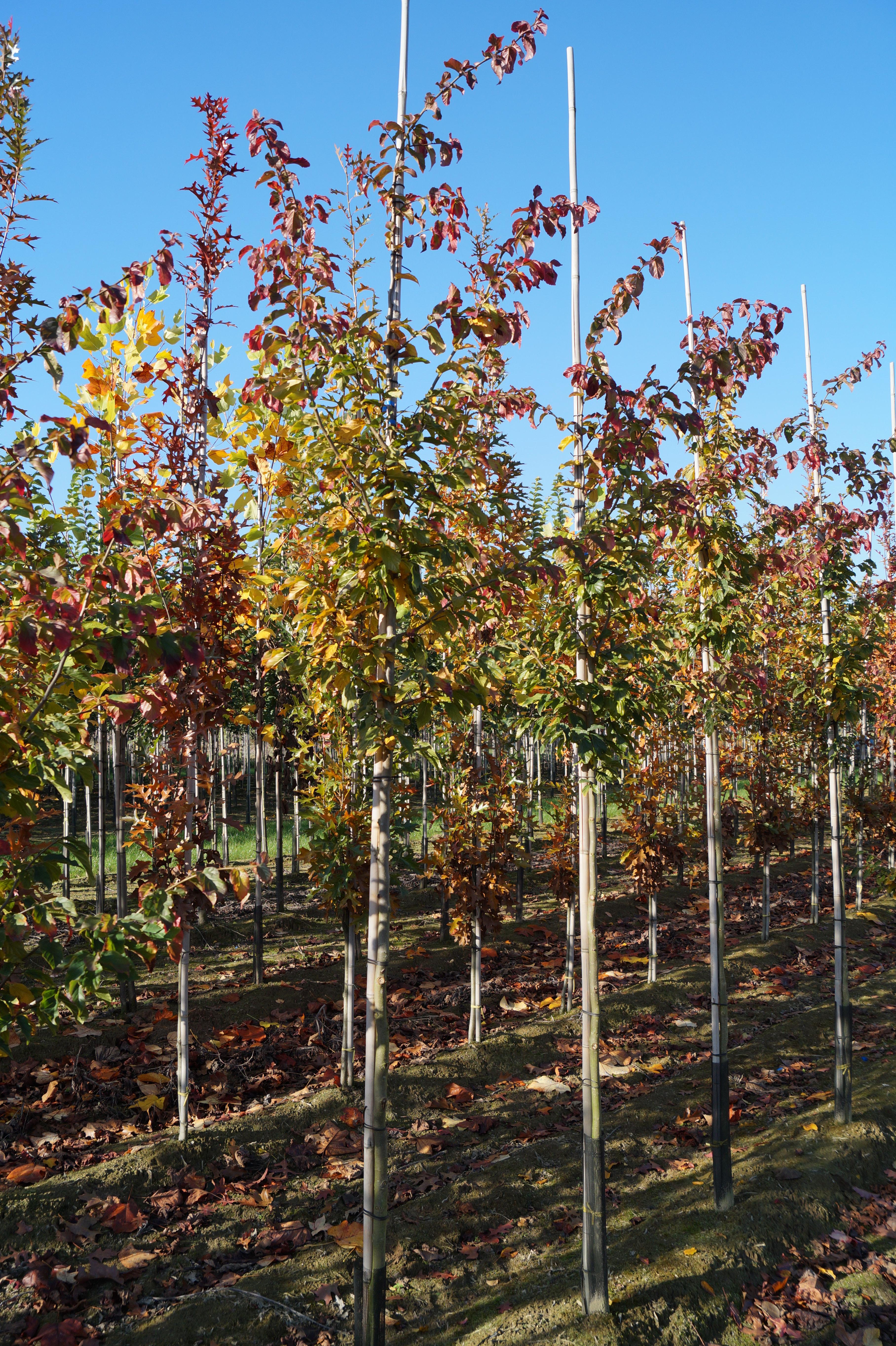 Eisenholzbaum Bella 60-80cm Parrotia persica