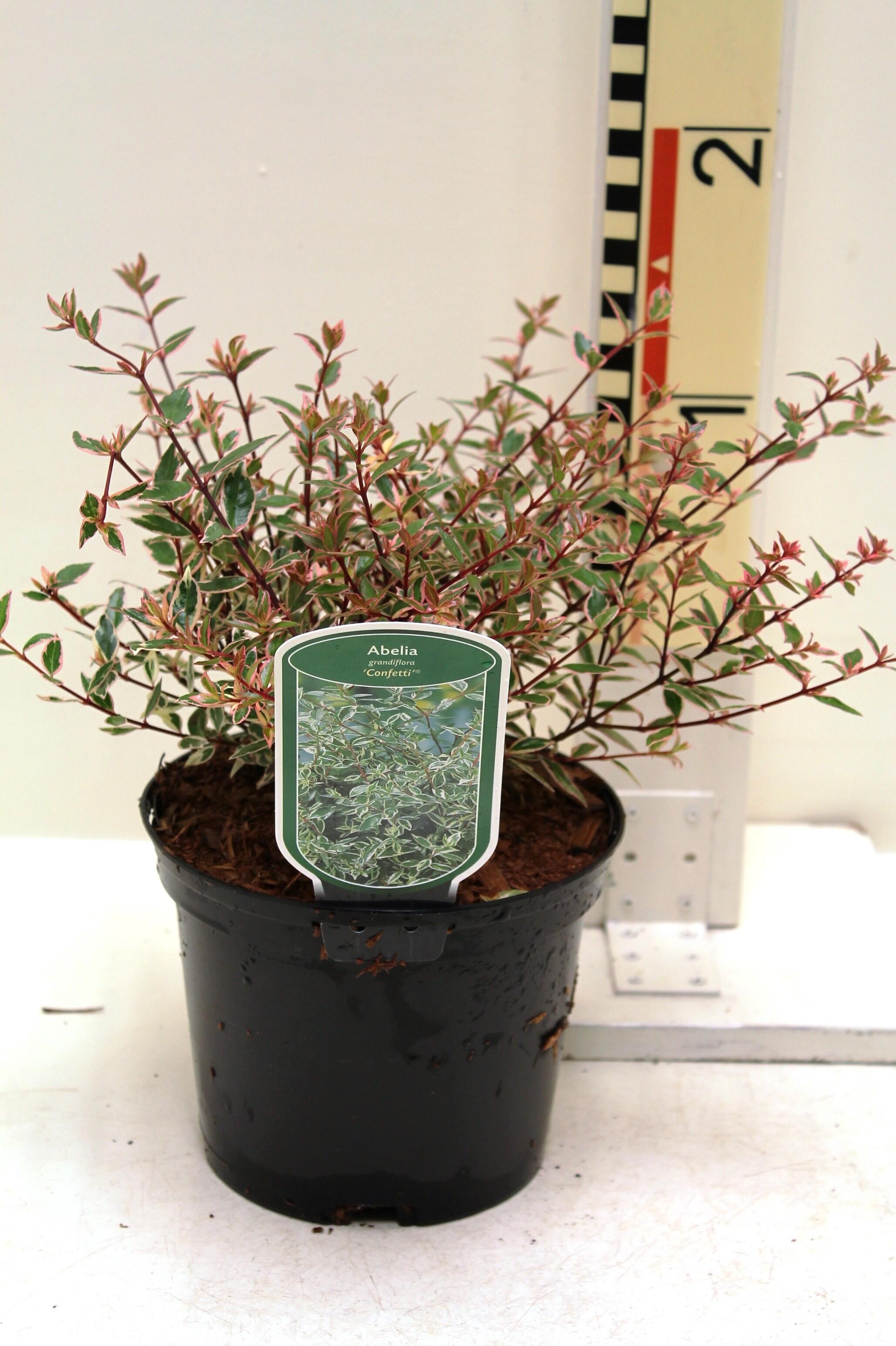 Abelia Grandiflora Conti