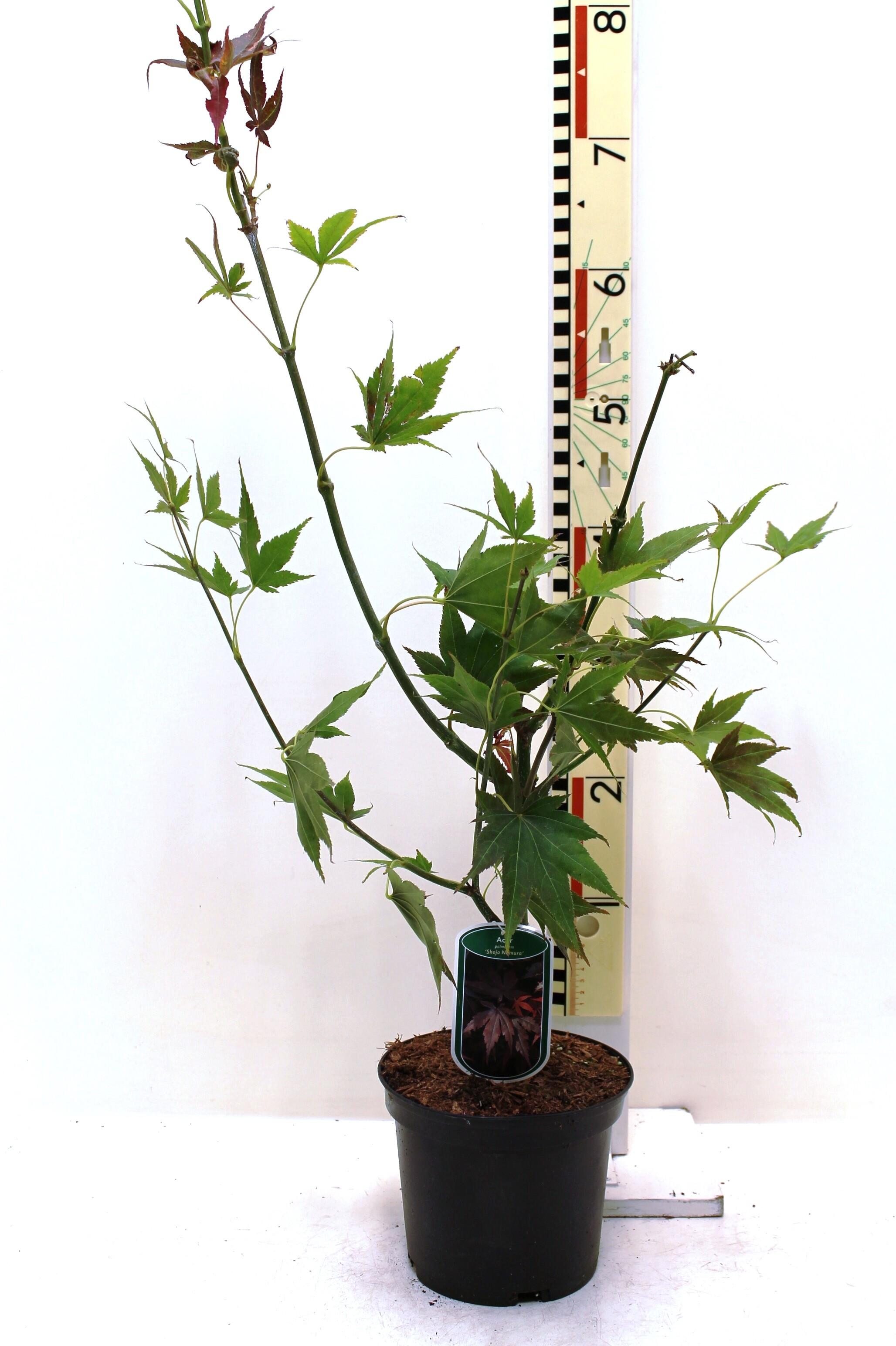 Acer Palmatum Shojo Nomura