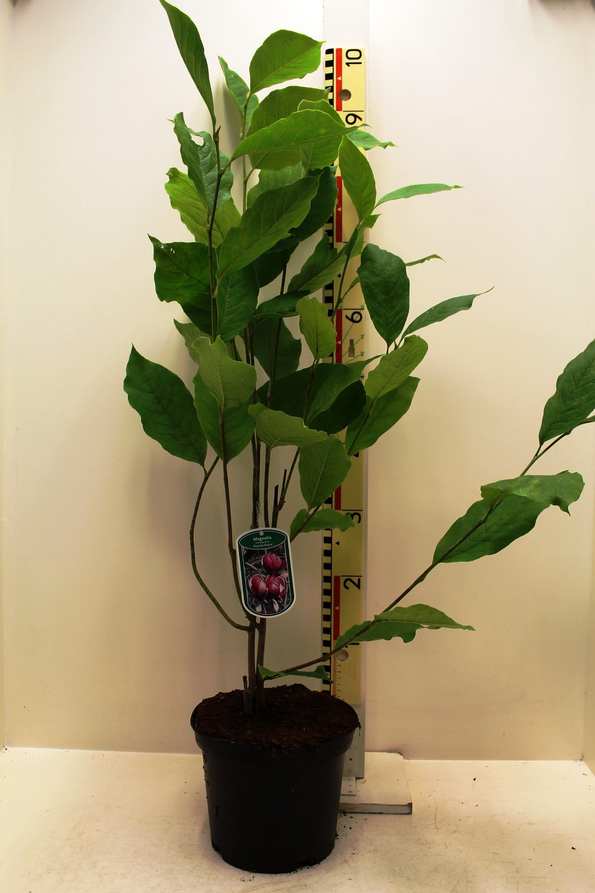 Magnolia Soulangeana Rustica Rubra