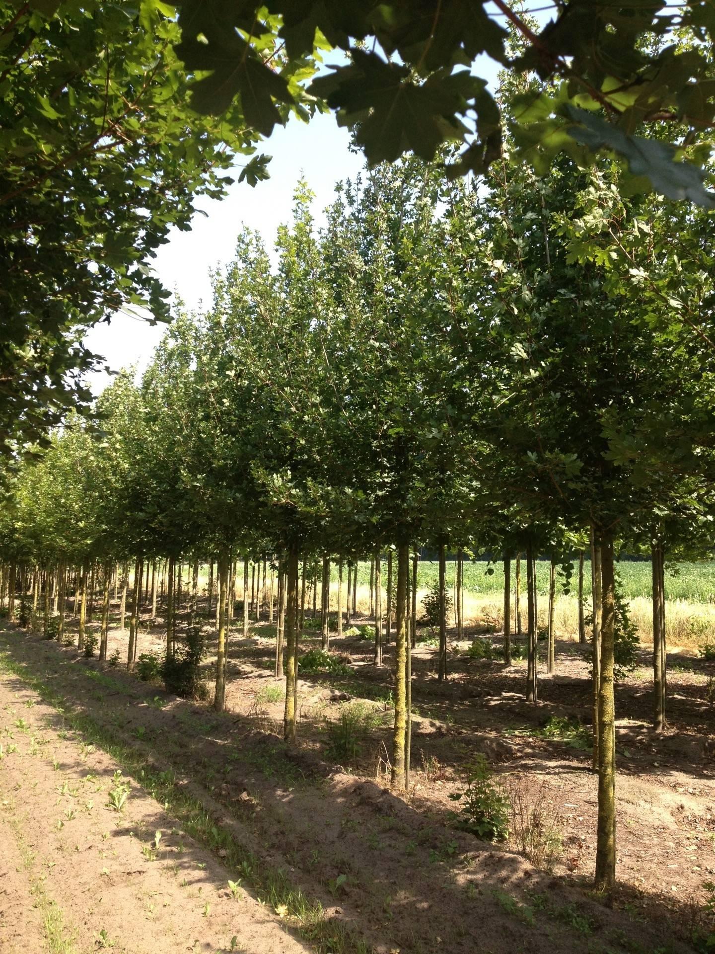 Acer Campestre Elsrijk